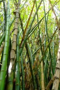 iphone-wallpaper-bamboe